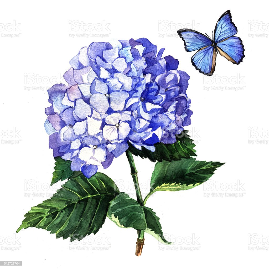 Watercolor illustration of a blue hydrangea and butterfly vector art illustration