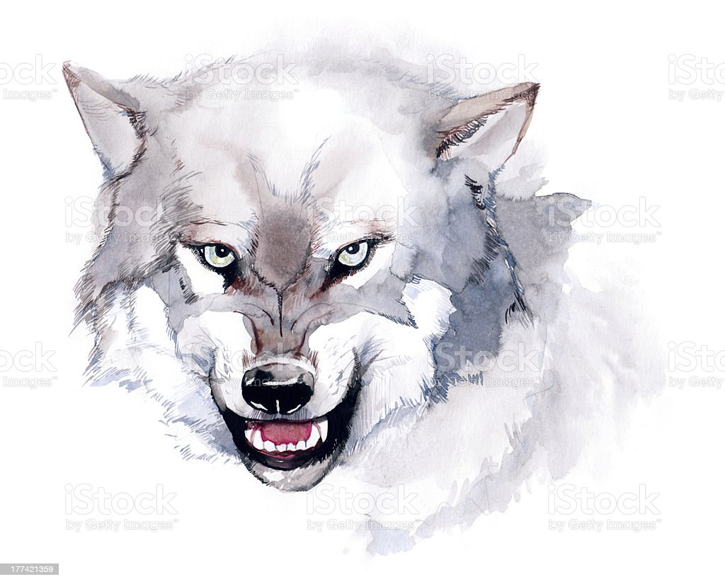 Watercolor illustration of an attack ready white wolf vector art illustration
