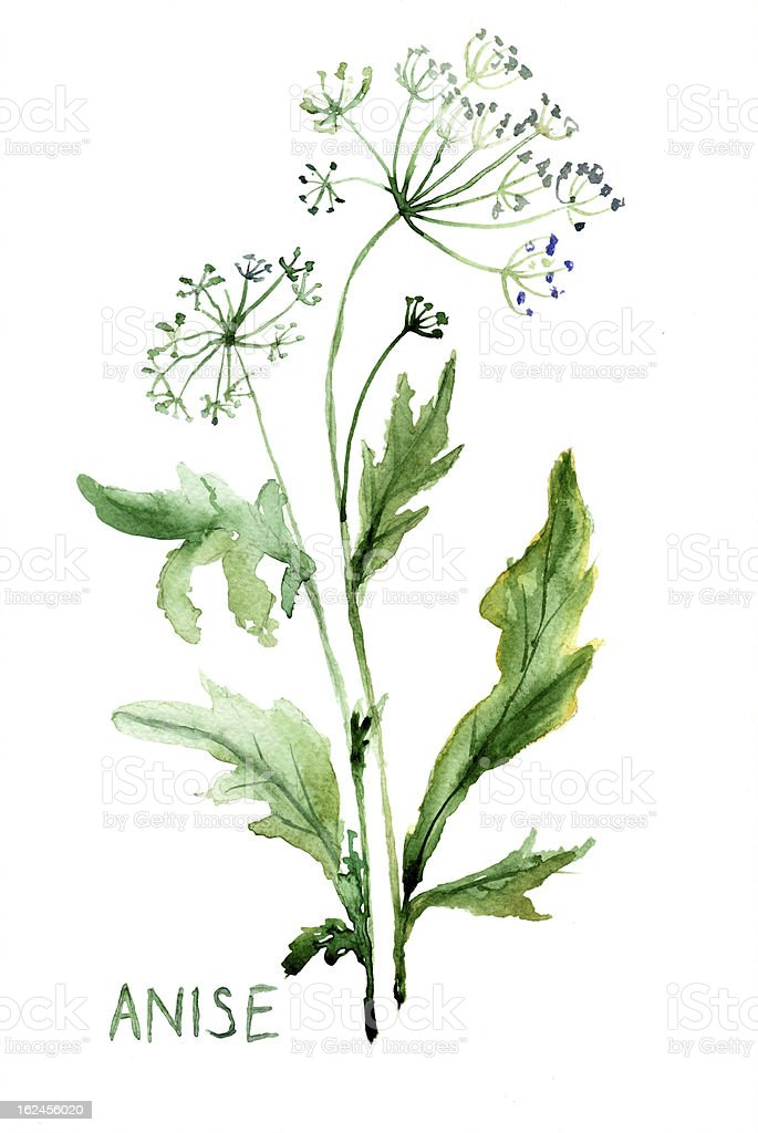 Watercolor illustration of Anise vector art illustration
