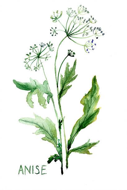 Watercolor illustration of Anise vector art illustration