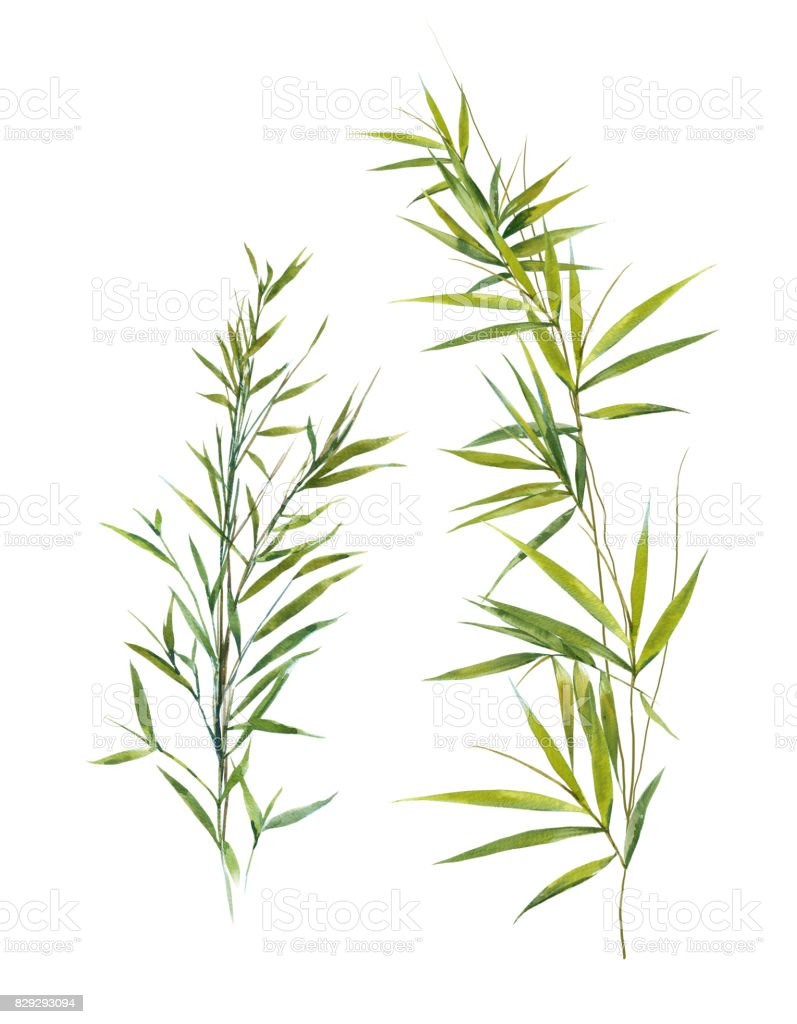 Watercolor illustration of bamboo leaves , on white background vector art illustration