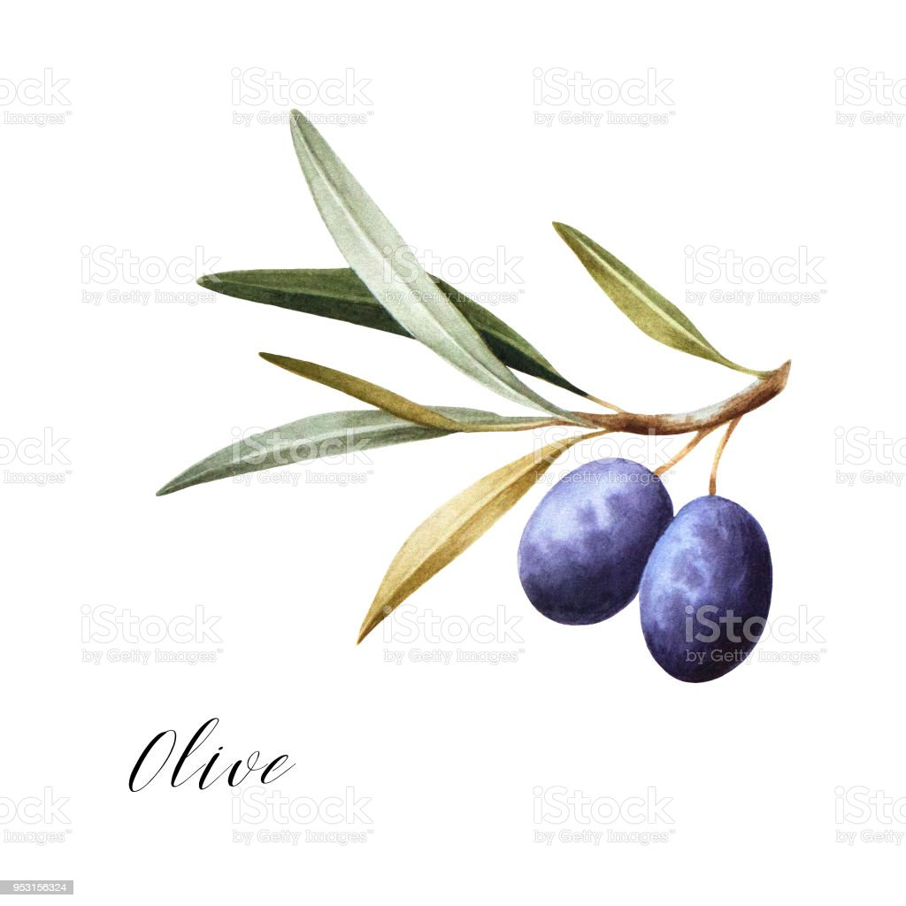 Watercolor illustration of black olives on branch. vector art illustration