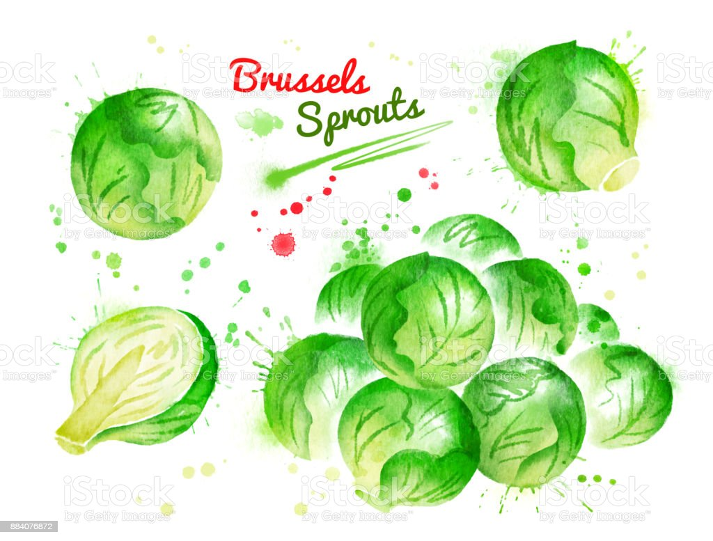 Watercolor illustration of brussels sprouts vector art illustration