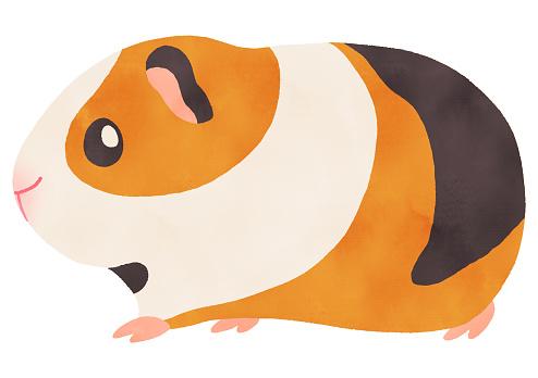 Watercolor illustration of cute guinea pig walk Calico