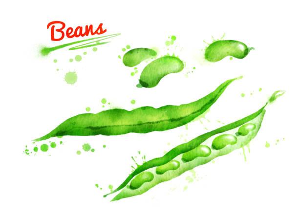 フランス語豆の水彩イラスト ベクターアートイラスト