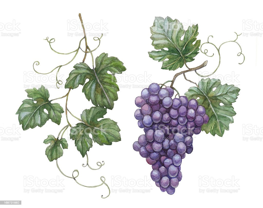 Watercolor illustration of grapes with leaves vector art illustration