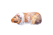Watercolor illustration of Guinea pig family of rodent animals. Isolated on white background.