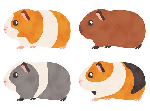 Watercolor illustration of guinea pigs of various coat colors