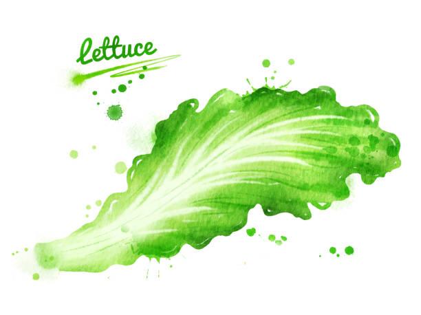 レタスの葉の水彩イラスト ベクターアートイラスト