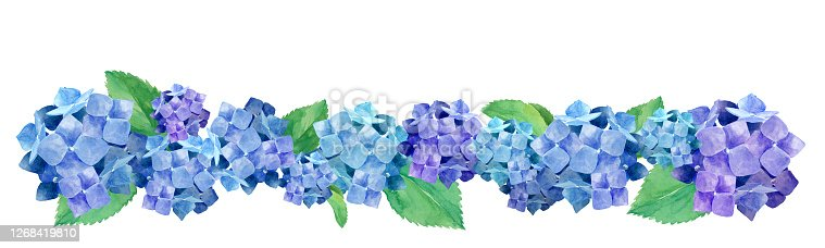Watercolor illustration of lined hydrangea