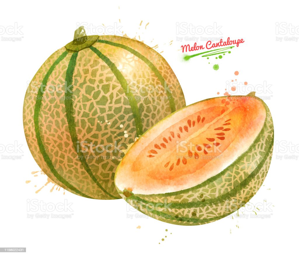 Watercolor Illustration Of Melon Cantaloupe Stock Illustration Download Image Now Istock Find your ideal cantaloupe color combinations at shutterstock. watercolor illustration of melon cantaloupe stock illustration download image now istock