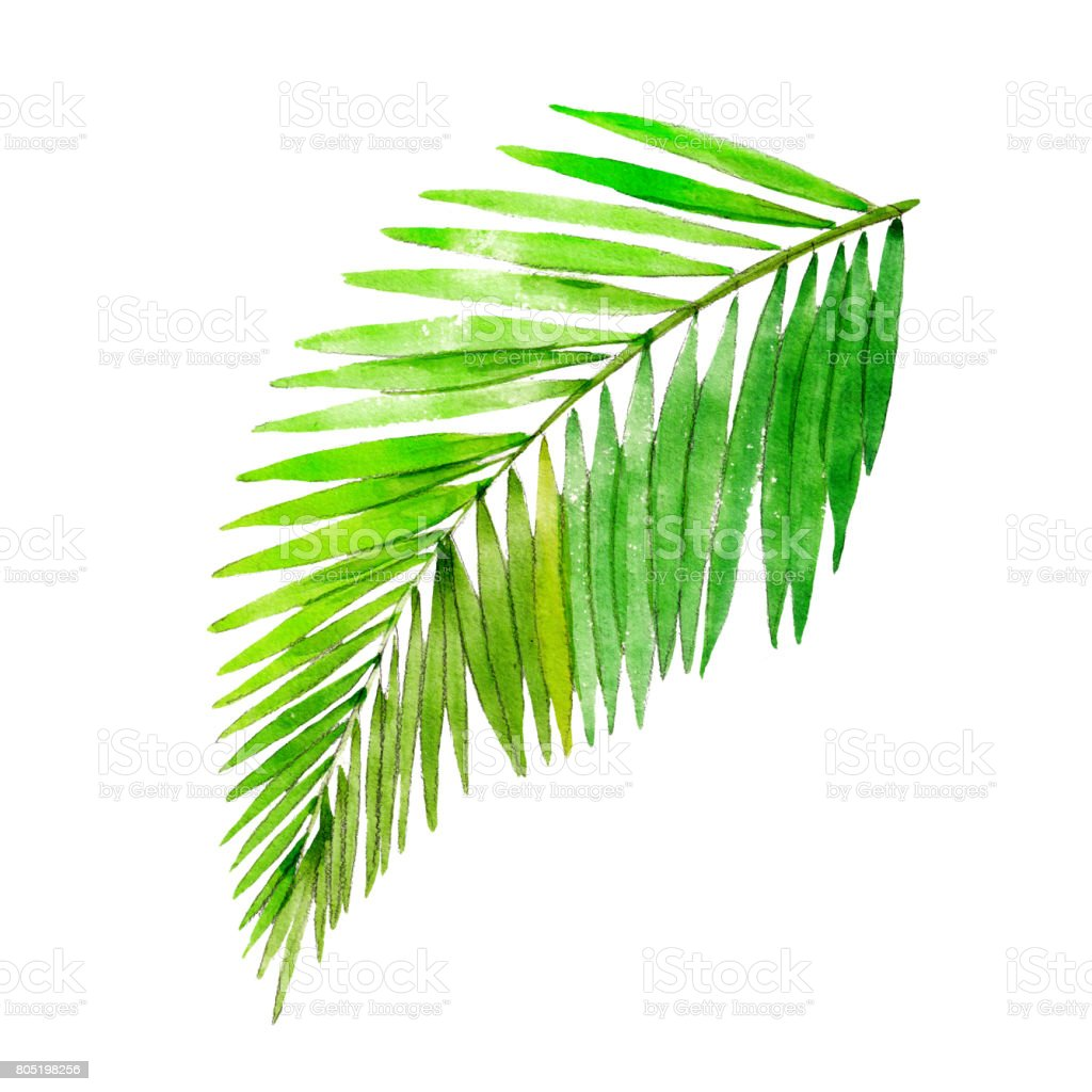 Watercolor Illustration Of Palm Tree Leaf Stock Vector Art & More ...