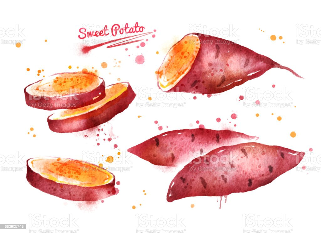 Watercolor illustration of sweet potato vector art illustration