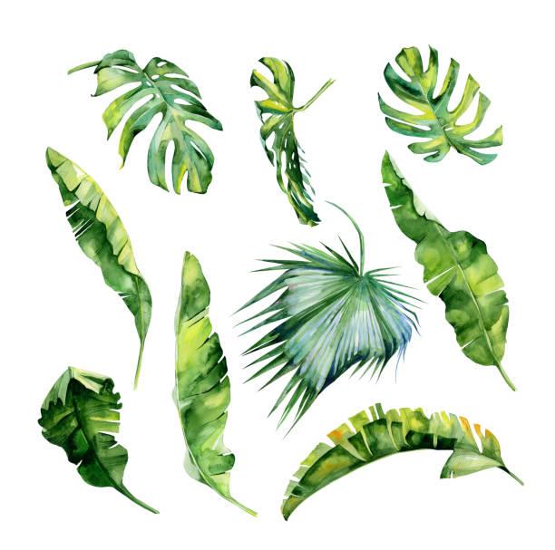 ilustrações, clipart, desenhos animados e ícones de aquarela ilustração das folhas tropicais, selva densa. pintados à mão. - textura de folhas