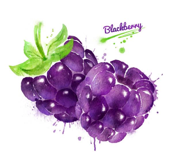 Watercolor illustration of two blackberries vector art illustration