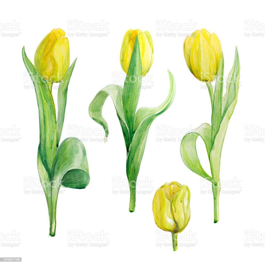 Aquarell Bild gelbe Tulpen. Skizze von Blumen. - Lizenzfrei Aquarell Stock-Illustration