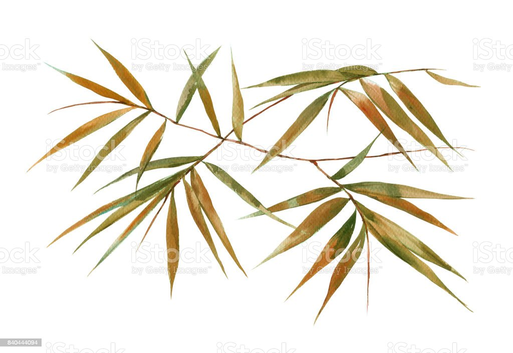 Watercolor illustration painting of bamboo leaves , on white background vector art illustration