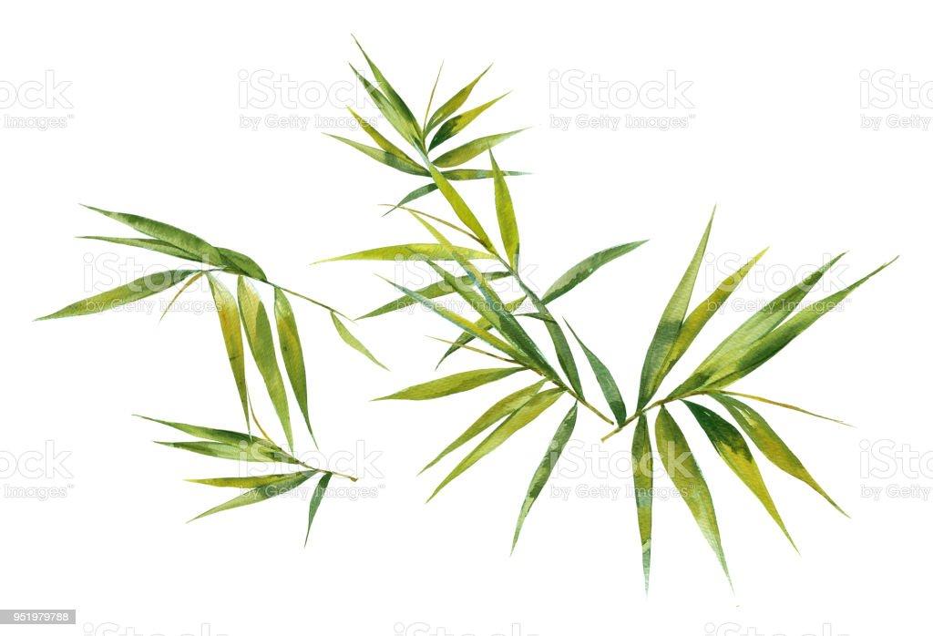 Aquarell Bild Malen Des Bambusblatter Auf Weissem Hintergrund Stock