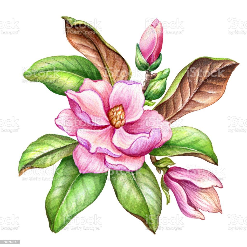 watercolor illustration pink magnolia flower floral design element rh istockphoto com magnolia wreath clipart magnolia clip art black and white