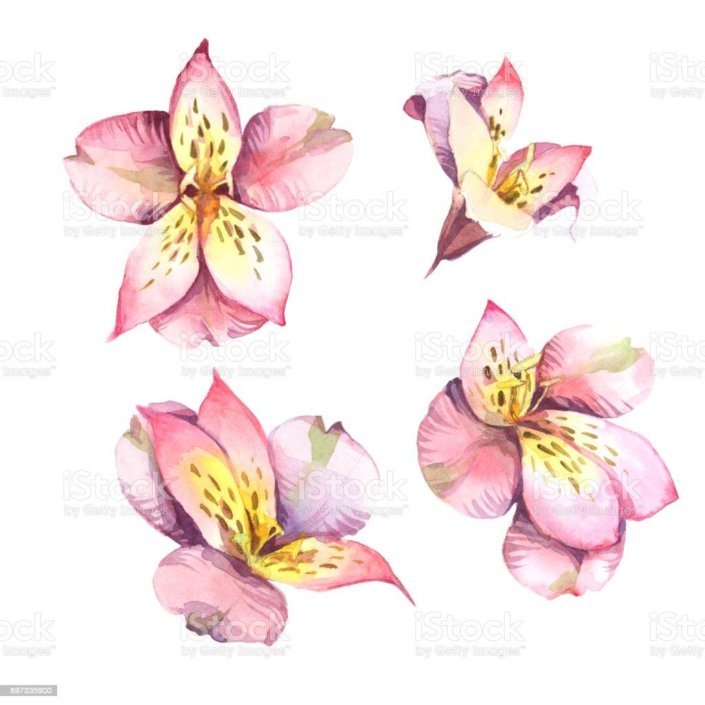 Ilustración acuarela. Conjunto de flores rosa aislado sobre fondo blanco. - ilustración de arte vectorial