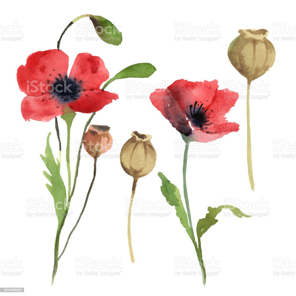 Watercolor Illustration Set Of Red Poppy Flowers Leaves Isolated On