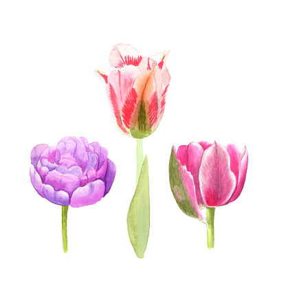 Watercolor illustration sketch of pink, colored tulip flowers on white background