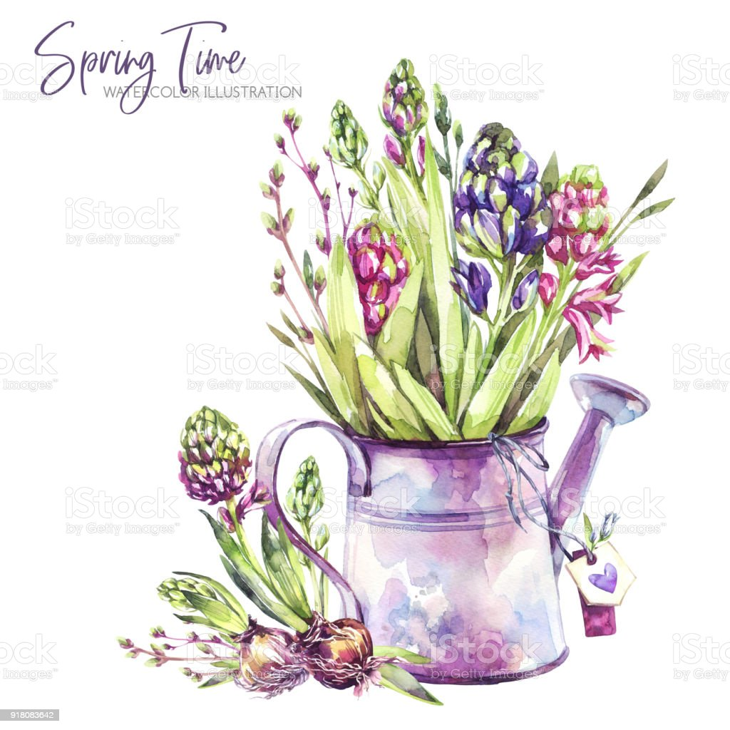 Watercolor Illustration Watering Can With Hyacinth Seedlings And Tags Rustic Objects Spring Collection