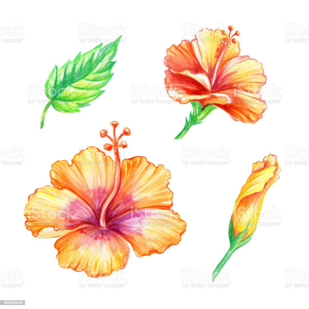 royalty free hibiscus flower clip art pictures clip art vector rh istockphoto com hibiscus clip art free hibiscus clipart black and white