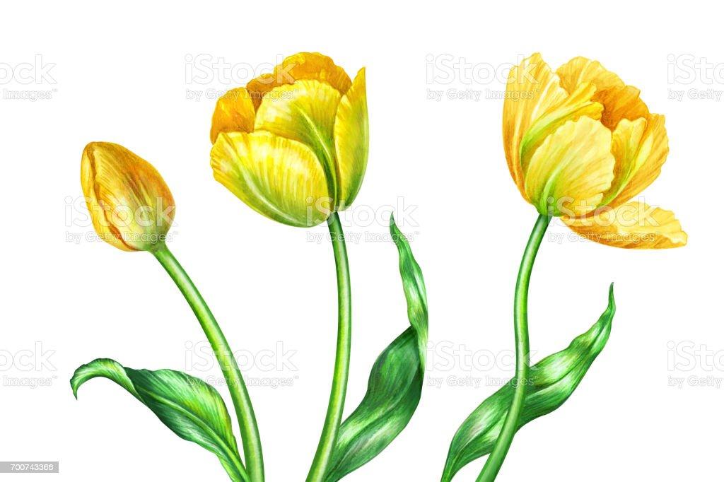 Sulu Boya Resimde Sarı Laleler Botanik Sanat çiçek Tasarım öğeleri