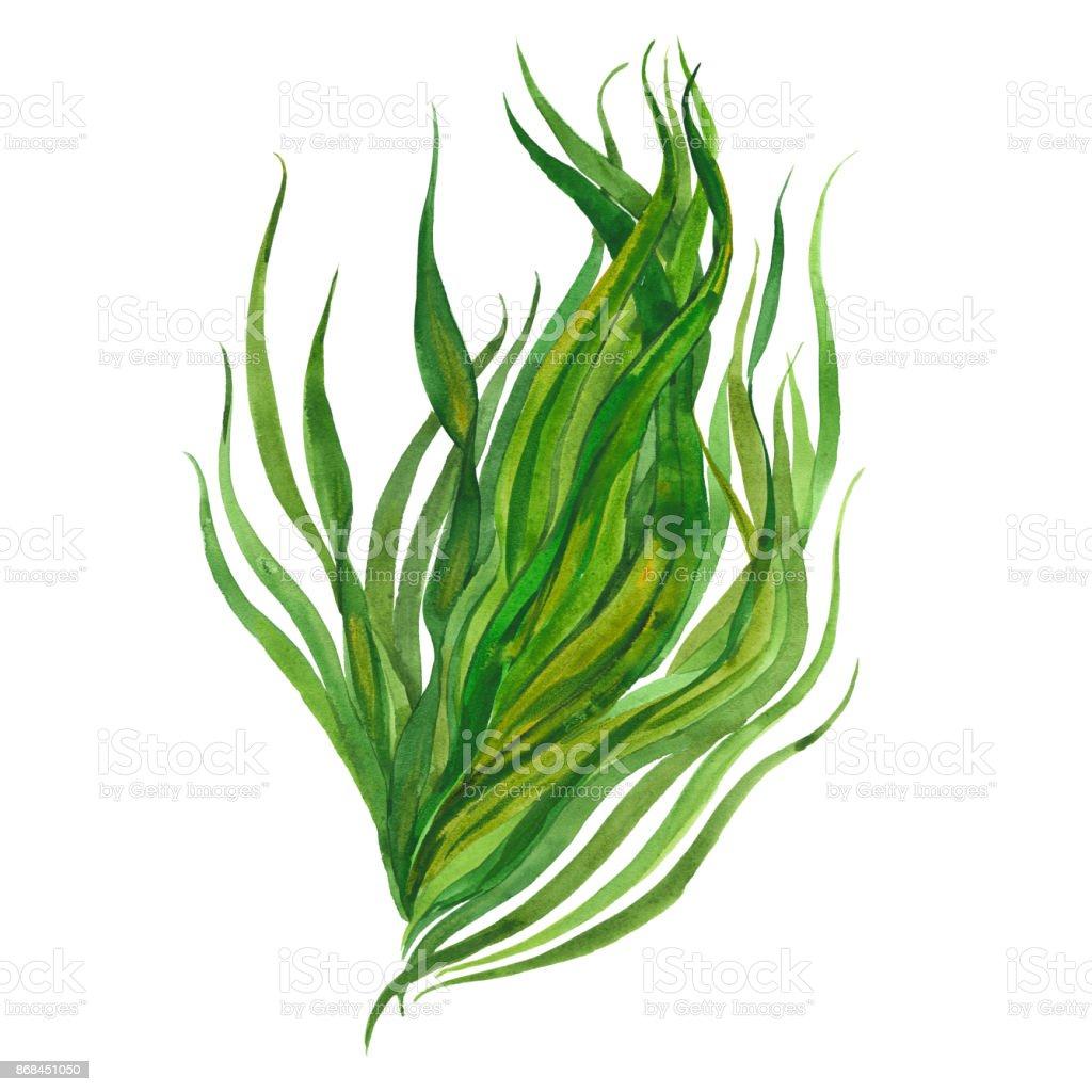 imagen acuarela de algas - ilustración de arte vectorial