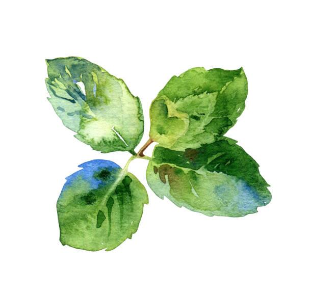 illustrazioni stock, clip art, cartoni animati e icone di tendenza di watercolor isolated green mint leaves - mika
