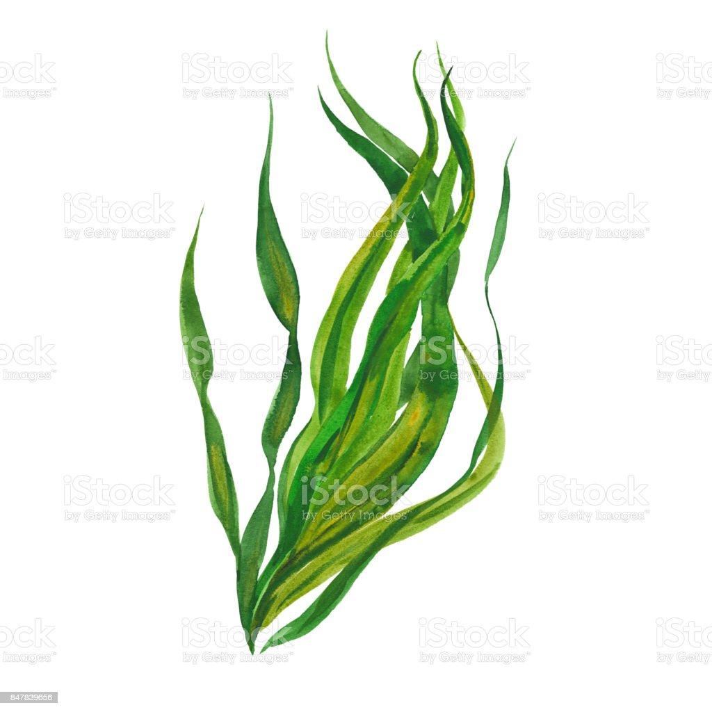watercolor kelp seaweed vector art