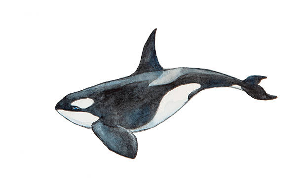 Watercolor killer whale Watercolor killer whale isolated on a white background killer whale stock illustrations