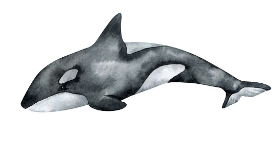 Watercolor killer whale isolated on white background. Hand-painted realistic illustration with underwater grey animal.