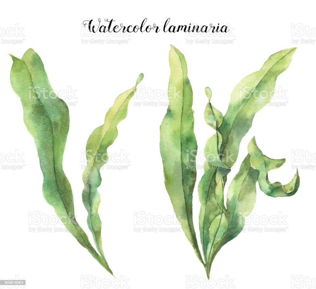 Laminaria acuarela. Pintado a mano ilustración floral submarina con rama de hojas de algas aislado sobre fondo blanco. Para el diseño, la tela o impresión. - ilustración de arte vectorial