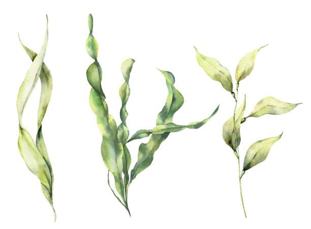 bildbanksillustrationer, clip art samt tecknat material och ikoner med akvarell laminaria set. handmålade undervattens blommor illustration med alger lämnar grenen isolerad på vit bakgrund. för design, tyg eller tryck. - sjögräs alger
