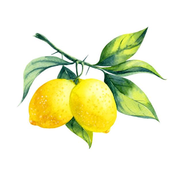 akwarela cytrynowa gałąź - cytryna stock illustrations