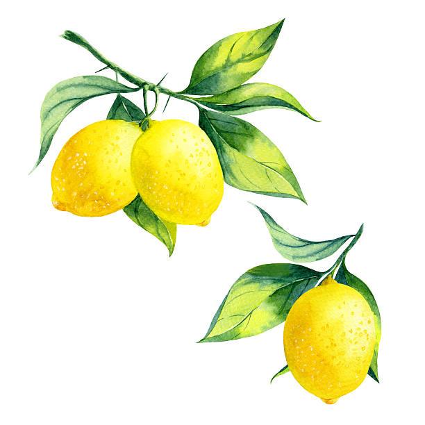 illustrazioni stock, clip art, cartoni animati e icone di tendenza di acquerello filiale di limone - illustrazioni di limone