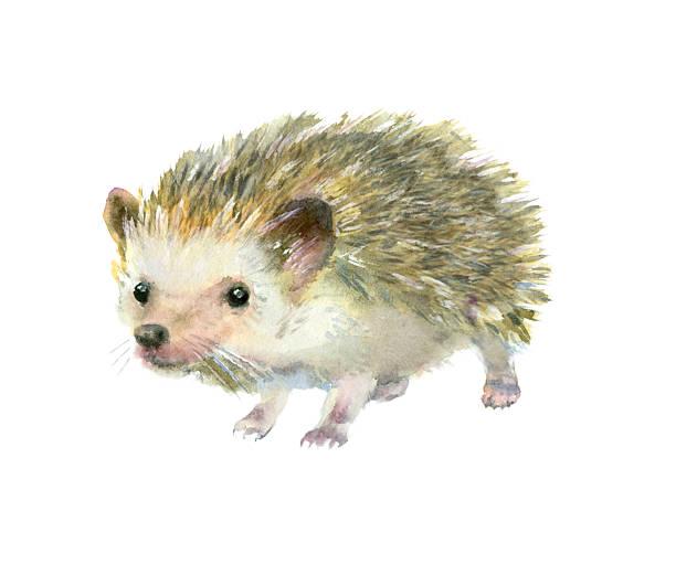 Watercolor little hedgehog. Watercolor painting. Cute hedgehog on white background. hedgehog stock illustrations