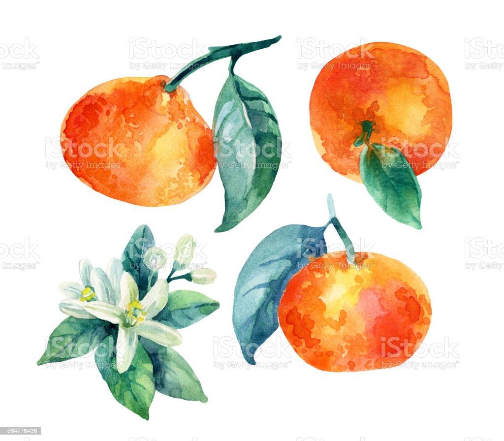 Watercolor mandarine orange fruit branch with leaves isolated on white vector art illustration