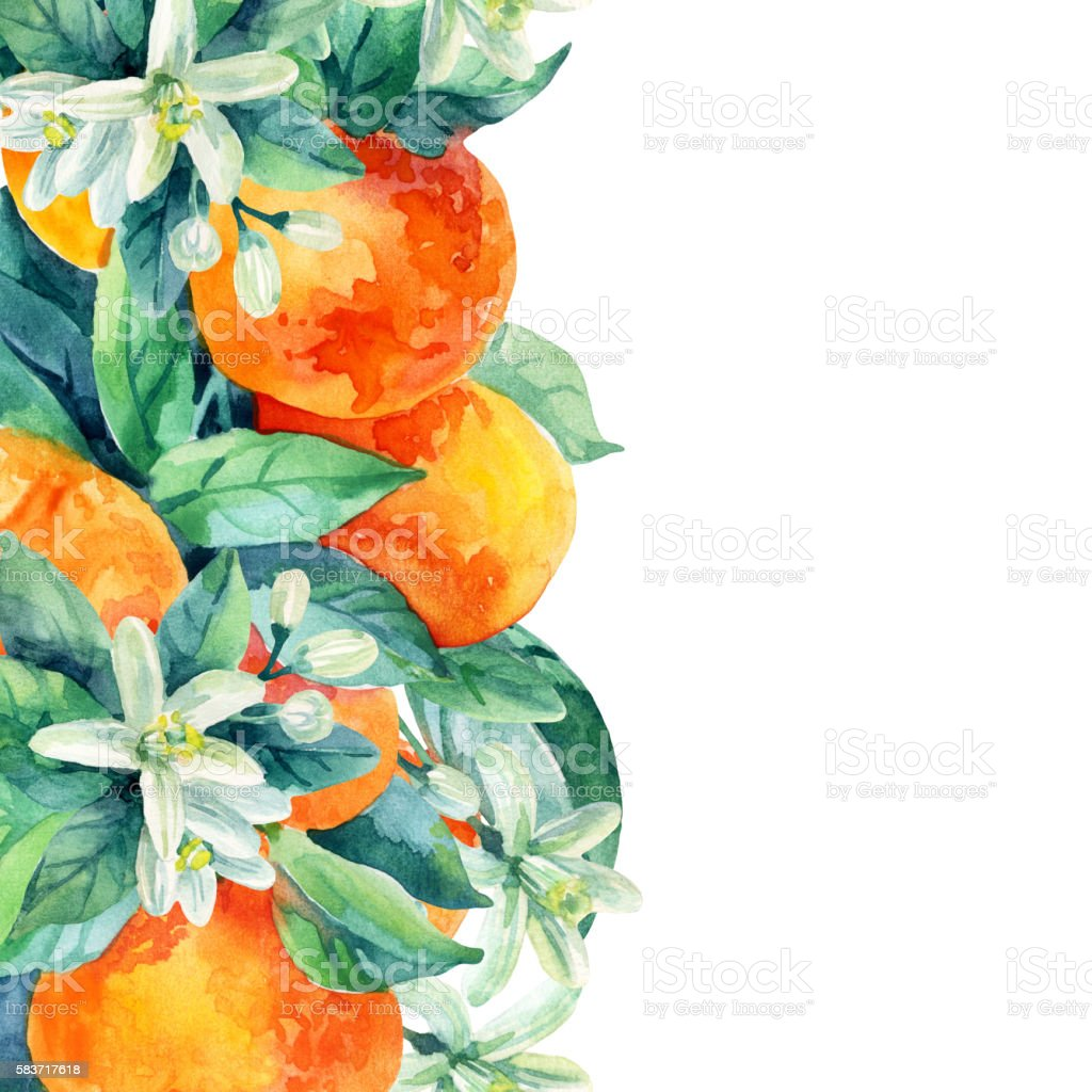 Watercolor Mandarine Orange Fruit Branch With Leaves On White