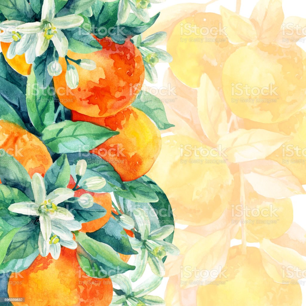 Watercolor mandarine orange fruit branch with leaves on white background royalty-free watercolor mandarine orange fruit branch with leaves on white background stock vector art & more images of backgrounds
