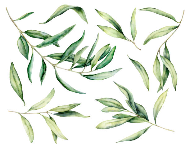 Watercolor olive branch and leaves set. Hand painted floral illustration isolated on white background for design, print, fabric or background. Watercolor olive branch and leaves set. Hand painted floral illustration isolated on white background for design, print, fabric or background olives stock illustrations