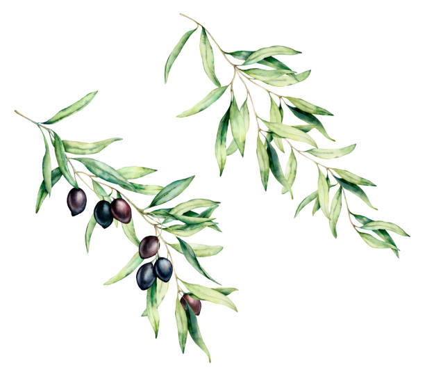 illustrazioni stock, clip art, cartoni animati e icone di tendenza di watercolor olive tree branch set with black olives and leaves. hand painted floral illustration isolated on white background for design, print, fabric or background. - verde cachi