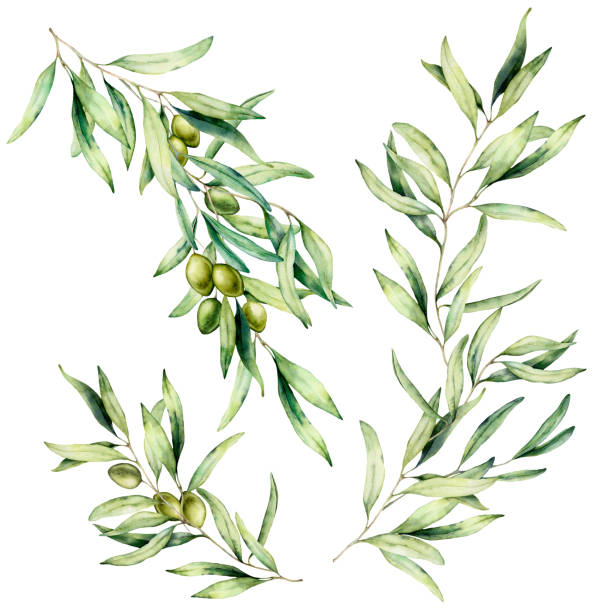 Watercolor olive tree branch set with leaves and green olives. Hand painted floral illustration isolated on white background for design, print, fabric or background. Watercolor olive tree branch set with leaves and green olives. Hand painted floral illustration isolated on white background for design, print, fabric or background olive branch stock illustrations