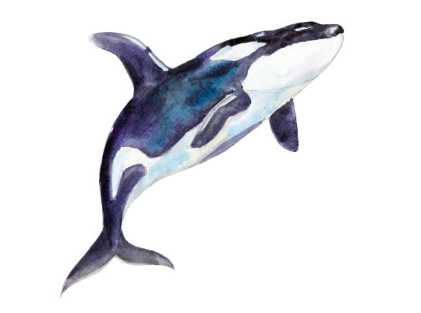 Watercolor orca, hand-drawn illustration isolated on white background. Watercolor orca, hand-drawn illustration isolated on white background. killer whale stock illustrations