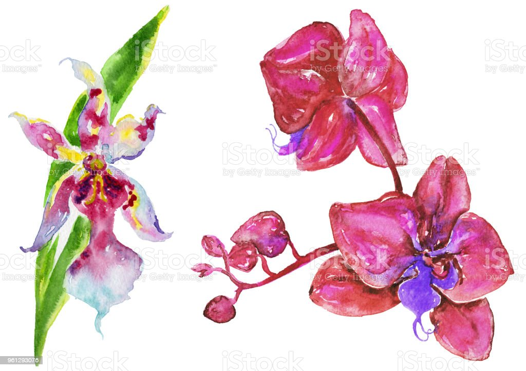 Watercolor orchid branch on a white background. vector art illustration
