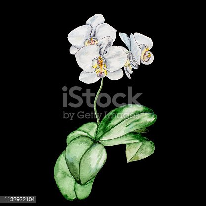 Watercolor painting by the hand of a blooming white Orchid. Isolated on black background.