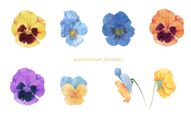 Watercolor painting of pansy flowers hand drawn garden center stock illustrations
