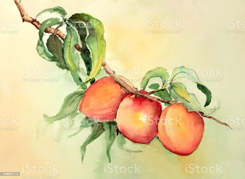 Watercolor painting of peaches or apricots on a branch vector art illustration
